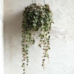 観葉植物  indoor plants   ホヤ カーティシー  現品