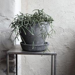 リプサリス indoor plants  S  size  現品