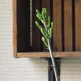 アガベ属 パープルスポット(花芽付き)