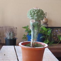 ストロンボカクタス属 皺疣菊水 接木