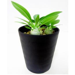 Pachypodium eburneum パキポディウム エブレネウム 実生苗3株セット
