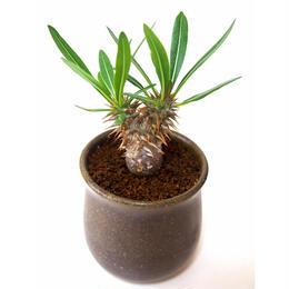 Pachypodium rosulatum   パキポディウム ロスラーツム  №3