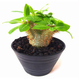 Pachypodium Densicaule パキポディウム デンシカウレ 恵比寿大黒(実生)
