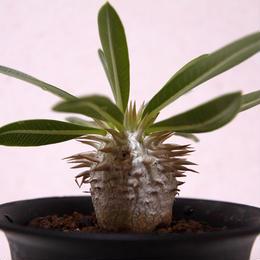 パキポディウム デンシカウレ 恵比寿大黒 Pachypodium Densicaule No2