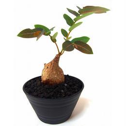 Phyllanthus mirabilis フィランサス ミラビリス