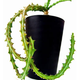 Euphorbia knuthii  狗奴子キリン
