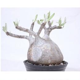 Pachypodium Gracilius パキポディウム  グラキリス  №8 扁平 短枝 超良形