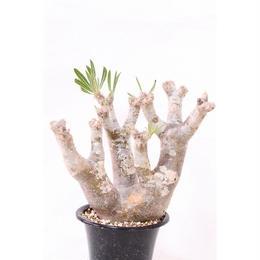 Pachypodium inopinatum  パキポディウム イノピナツム  no.3 形独特