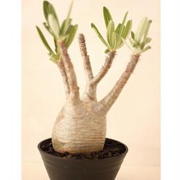 Pachypodium Gracilius パキポディウム  グラキリス  №1