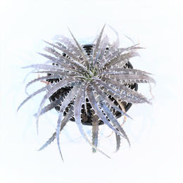 Dyckia  delicata GF F1 x (Arizona x ML)