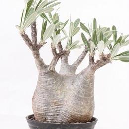 Pachypodium Gracilius パキポディウム  グラキリス  №3 標本株 特選