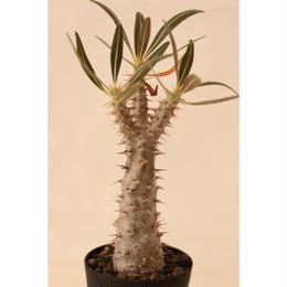 Pachypodium Gracilius パキポディウム  グラキリス  実生  No.2