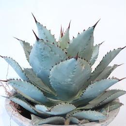 Agave pygmaea 'Dragon Toes'