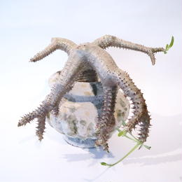 パキポディウム マカイエンセ