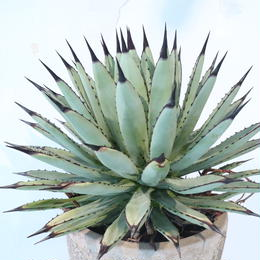 Agave macroacantha 'Icicle' BLUE FORM
