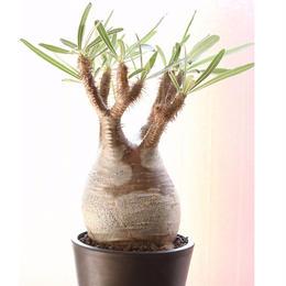 Pachypodium Gracilius パキポディウム  グラキリス 発根済み