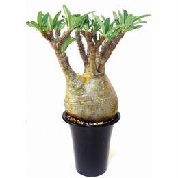 パキポディウム グラキリス  Pachypodium Gracilius №1