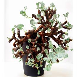 ペラルゴニウム ミラビレ Pelargonium mirabile №1