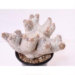 Pachypodium eburneum パキポディウム エブレネウム  no.3 グローブ型 花芽多数