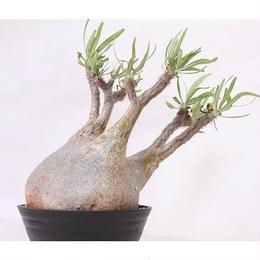 Pachypodium Gracilius パキポディウム  グラキリス  未発根  no.1 緑肌