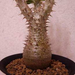パキポディウム シバの女王の玉櫛 Pachypodium densiflorum No2
