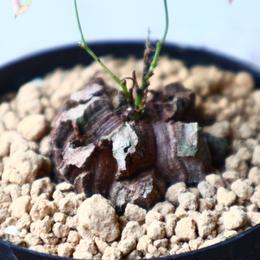 ディオスコレア   亀甲竜    Dioscorea elephantipe  no.1118-2