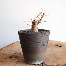 フォークイエリア   プルプシー  no.010  Fouquieria purpusii