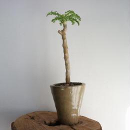 ペラルゴニウム   カルノーサム  no.003   Pelargonium carnosum