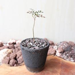 オペルクリカリア    ボレアリス    no.001   Operculicarya borealis