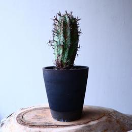 ユーフォルビア  群星冠    Euphorbia   stellispina  no.20312