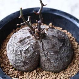 ディオスコレア   亀甲竜    Dioscorea elephantipe  no.923-12