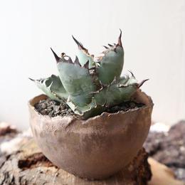 """アガベ チタノタ ブルー&ブラック     no.028  agave titanota """"blac & blue"""""""