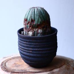 ユーフォルビア  オベサ   Euphorbia obesa   no.20308