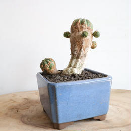 ユーフォルビア   オベサ梵天   no.020   Euphorbia 'Obesa Bonten'