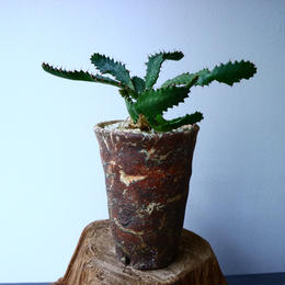 ユーフォルビア ステラータ  飛竜 Euphorbia stellata  No.026