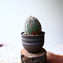 ユーフォルビア  オベサ   no.035  Euphorbia obesa