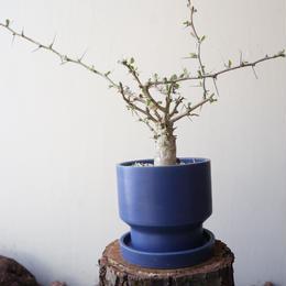 フォークイエリア   コルムナリス   no.009  Fouquieria columnari