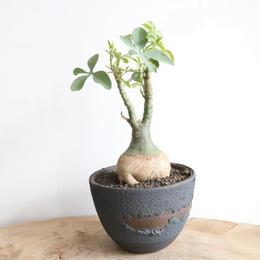 アデニア   グラウカ  no.012   Adenia glauca