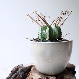 ユーフォルビア  バリダ   no.046-3   Euphorbia valida