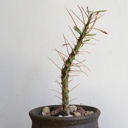 フォークイエリア   プルプシー  no.003  Fouquieria purpusii