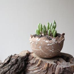 オトンナ    クラビフォリア    no.017    Othonna clavifolia