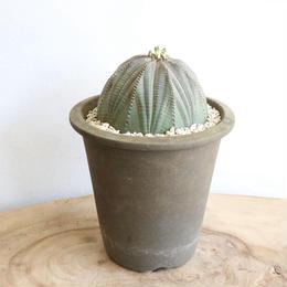 ユーフォルビア  オベサ   no.026   Euphorbia obesa