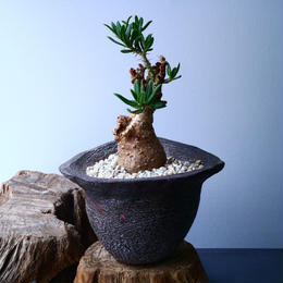 パキポディウム ビスピノーサム  Pachypodium bispinosum  No.009
