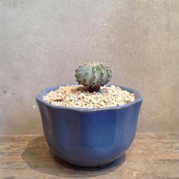 ゲオヒントニア    メキシカーナ  no.02   Geohintonia mexicana