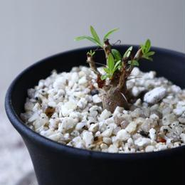 フォークイエリア   プルプシー    Fouquieria purpusii  no.92308