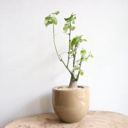 アデニア     スピノーサ    no.002  Adenia     spinosa