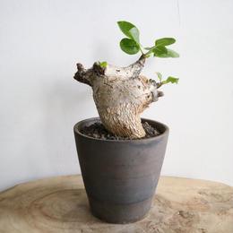 コミフォラ グイドッティ  no.001  Commiphora guidotti