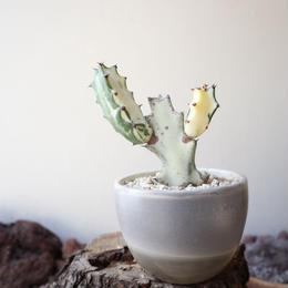 ユーフォルビア   ホワイトゴースト   no.001   Euphorbia lactea 'White Ghost'