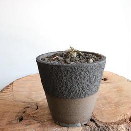 ユーフォルビア   トゥレアレンシス   no.004    Euphorbia tulearensis