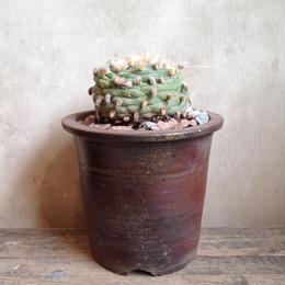 ロフォフォラ   ディフューザー  no.1   翠冠玉    Lophophora diffusa